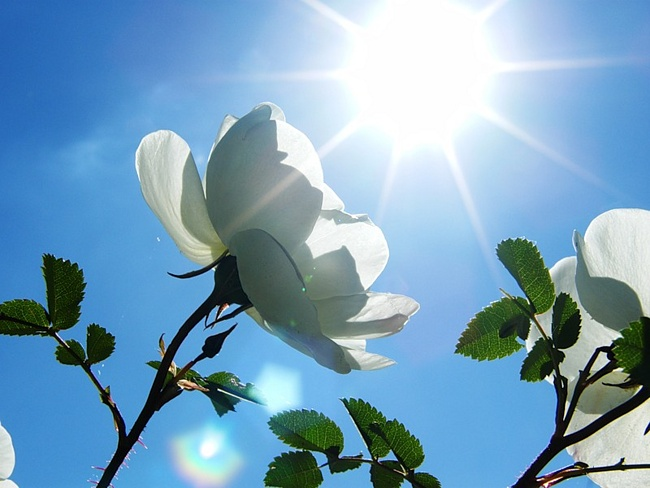 Картинка на День Всех Влюбленных Белые цветы