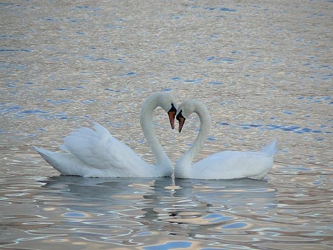 Картинка на День Всех Влюбленных Лебеди