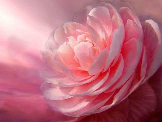 Картинка на День Всех Влюбленных Розовая роза